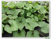 南瓜-葫蘆科-民生植物-藤蔓植物:南瓜20.jpg