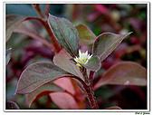 法國莧-莧科-草本花卉-觀葉植物:法國莧4.jpg