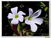 紫葉酢漿草-酢漿草科-草本花卉:紫葉酢漿草08.jpg
