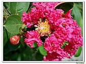 小花紫薇(紫紅色)-千屈菜科-木本花卉:小花紫薇-紫紅色04.jpg