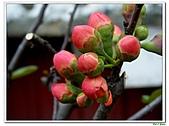 刺梅-薔薇科-木本花卉:刺梅205.JPG