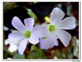 紫葉酢漿草(幸運草):紫葉酢漿草(幸運草)3.jpg