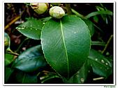 千層茶花-茶科-木本花卉:千層茶花18.JPG