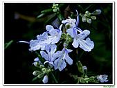 匍匐迷迭香-唇形科-香草植物-草本花卉-地被植物:匍匐迷迭香01.jpg