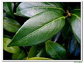 玫瑰茶花-茶科-木本花卉:玫瑰茶花21.JPG