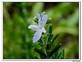匍匐迷迭香-唇形科-香草植物-草本花卉-地被植物:匍匐迷迭香14.jpg