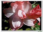 華光杜鵑-杜鵑花科-木本花卉:華光杜鵑2.JPG