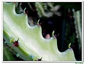 三角柱-仙人掌科-多肉植物-沙漠植物:三角柱08.jpg