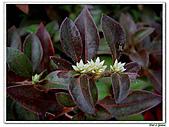 法國莧-莧科-草本花卉-觀葉植物:法國莧5.jpg