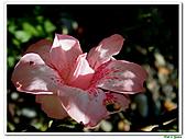 華光杜鵑-杜鵑花科-木本花卉:華光杜鵑3.JPG
