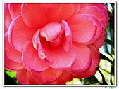 玫瑰茶花-茶科-木本花卉:玫瑰茶花01.JPG