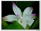鬱金(薑黃)-薑科-球根植物:鬱金09.jpg