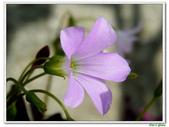 紫葉酢漿草(幸運草):紫葉酢漿草(幸運草)4.jpg