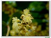 野桐(雄花)-大戟科-木本花卉:野桐-雄花11.jpg
