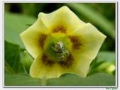 燈籠草(苦蘵)-茄科-藤蔓植物-飢荒野菜:燈籠草(苦蘵)14.JPG