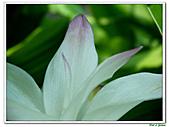 鬱金(薑黃)-薑科-球根植物:鬱金15.jpg