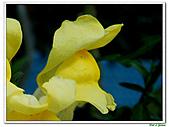 金魚草-玄參科-草本花卉:金魚草20.jpg