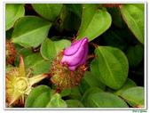 蔓性野牡丹-野牡丹科-藤蔓植物-地被植物:蔓性野牡丹10.jpg