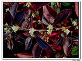 法國莧-莧科-草本花卉-觀葉植物:法國莧6.jpg
