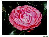 玫瑰茶花-茶科-木本花卉:玫瑰茶花02.JPG