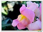 金魚草-玄參科-草本花卉:金魚草05.jpg
