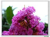 小花紫薇(紫紅色)-千屈菜科-木本花卉:小花紫薇-紫紅色06.jpg