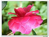 小玫瑰茶花-茶科-木本花卉:小玫瑰茶花2.JPG