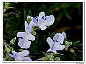 匍匐迷迭香-唇形科-香草植物-草本花卉-地被植物:匍匐迷迭香15.jpg