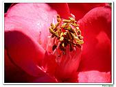 小紅茶花-茶科-木本花卉:小紅茶花01.JPG