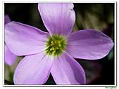 紫葉酢漿草-酢漿草科-草本花卉:紫葉酢漿草12.jpg
