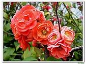 刺梅-薔薇科-木本花卉:刺梅208.JPG