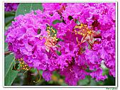 小花紫薇(紫紅色)-千屈菜科-木本花卉:小花紫薇-紫紅色07.jpg