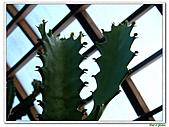 三角柱-仙人掌科-多肉植物-沙漠植物:三角柱09.jpg