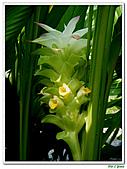 鬱金(薑黃)-薑科-球根植物:鬱金04.jpg
