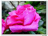 繞月杜鵑-杜鵑花科-木本花卉:繞月杜鵑01.jpg
