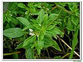 甜梨薄荷-唇形科-草本花卉-香草植物:甜梨薄荷10.jpg