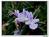 匍匐迷迭香-唇形科-香草植物-草本花卉-地被植物:匍匐迷迭香02.jpg