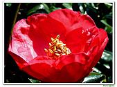 小紅茶花-茶科-木本花卉:小紅茶花02.JPG