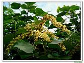 野桐(雄花)-大戟科-木本花卉:野桐-雄花13.jpg
