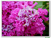 小花紫薇(紫紅色)-千屈菜科-木本花卉:小花紫薇-紫紅色08.jpg