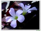 紫葉酢漿草(幸運草):紫葉酢漿草(幸運草)5.jpg