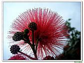 美洲合歡-豆科/含羞草亞科-木本花卉:美洲合歡5.jpg