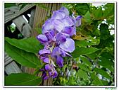 紫藤-豆科-藤蔓植物:紫藤01.jpg
