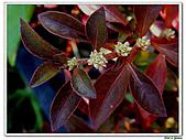 法國莧-莧科-草本花卉-觀葉植物:法國莧8.jpg