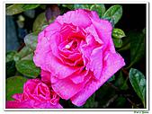 繞月杜鵑-杜鵑花科-木本花卉:繞月杜鵑02.jpg
