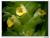 鬱金(薑黃)-薑科-球根植物:鬱金16.jpg