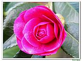 小玫瑰茶花-茶科-木本花卉:小玫瑰茶花3.JPG