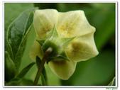 燈籠草(苦蘵)-茄科-藤蔓植物-飢荒野菜:燈籠草(苦蘵)15.JPG