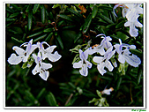 匍匐迷迭香-唇形科-香草植物-草本花卉-地被植物:匍匐迷迭香16.jpg