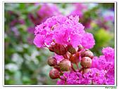 小花紫薇(紫紅色)-千屈菜科-木本花卉:小花紫薇-紫紅色09.jpg